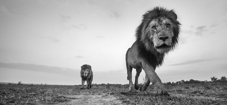 Lion males walking